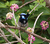 Male Superb Fairywren (Malurus cyaneus), Breeding Plumage