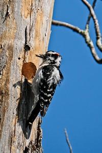 Downy Woodpecker, male - Dryobates pubescens.
