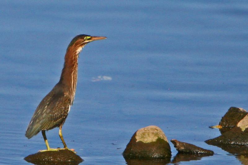 Green Heron working the tide waters