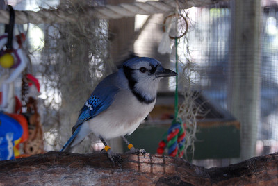 Blue jay, Suncoast Seabird Sanctuary, Indian Shores, FL