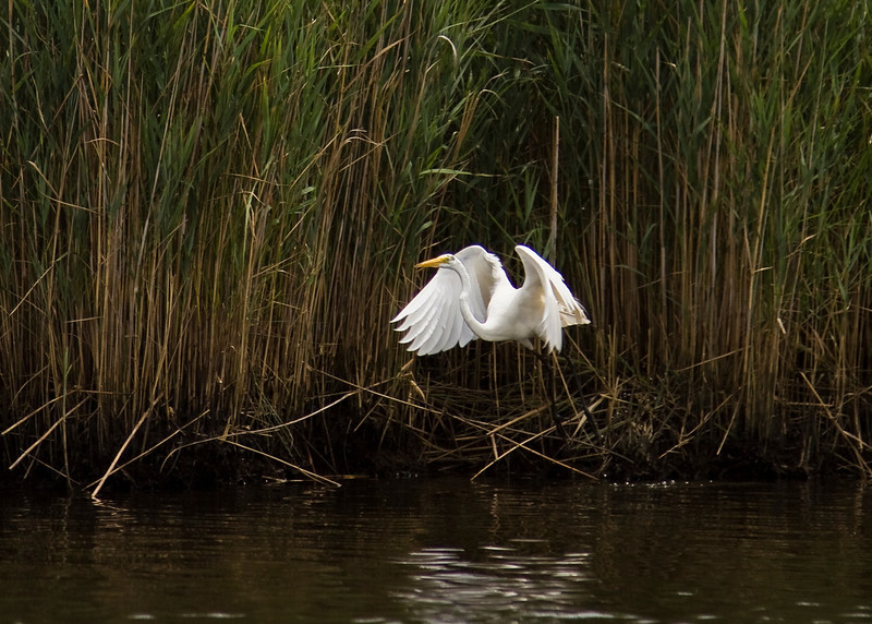 Great Egret, Wertheim National Wildlife Preserve. 07/24/2011