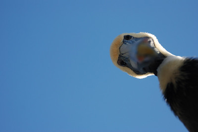 A curious brown pelican looking down at the photographer.