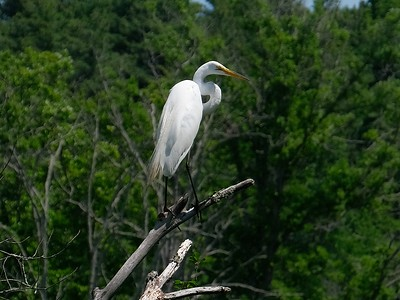 A Great Egret - Ardea alba, adult.