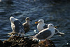 Four seagulls standing on a rocky shoreline. The sun was going down and showed these birds in a warm light.