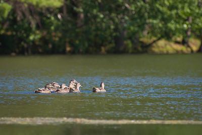 Mallards at Nashua River (MA) on 20100702