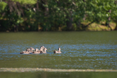 Mallards at Nashua River (MA) on 20100702