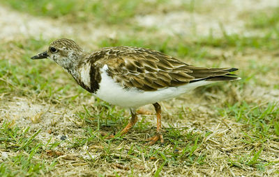 Ruddy Turnstone at Dry Tortugas