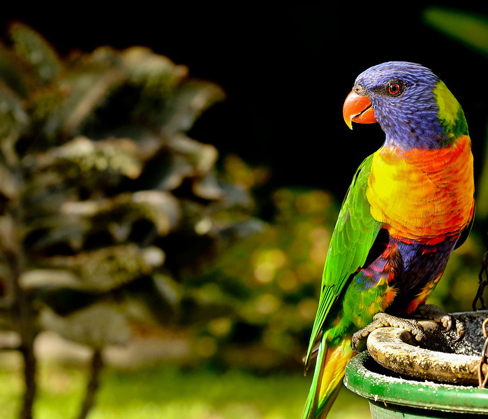 Rainbow Lorikeet<br /> The Rainbow Lorikeet, is a species of Australasian parrot found in Australia, eastern Indonesia, Papua New Guinea, New Caledonia, Solomon Islands and Vanuatu. The Rainbow Lorikeet is unmistakable with its bright red beak and colourful plumage. Both sexes look alike, with a blue (mauve) head and belly, green wings, tail and back, and an orange/yellow breast.<br /> <br /> Captured with Canon EOS 6D+Canon 100mm f/2.8 Macro Lens, ISO 1600, 1/400sec, processed using PS-cs5 and IPv5, image has been cropped
