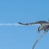 Roseate tern flyin overhead.