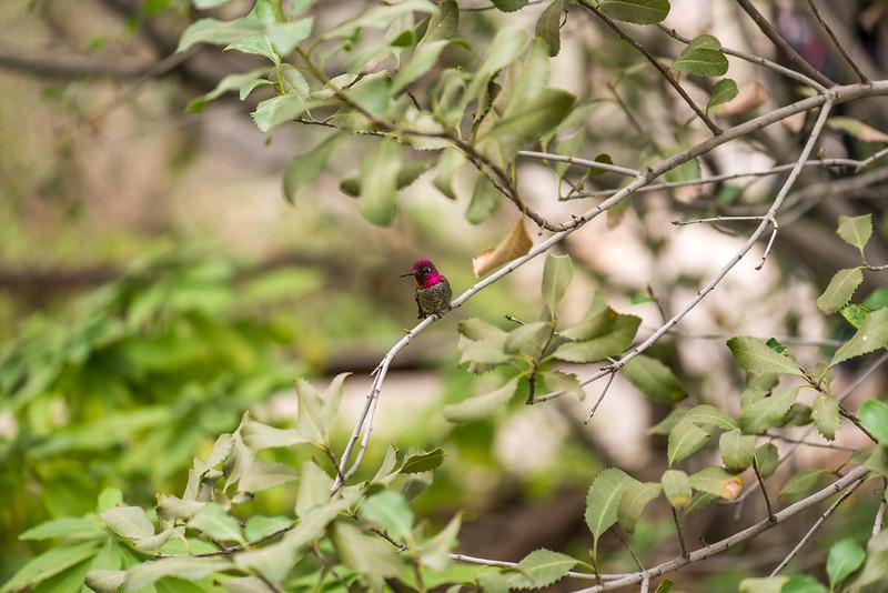 Anna's Hummingbird at Arizona-Sonora Desert Museum, Tucson - December 2017