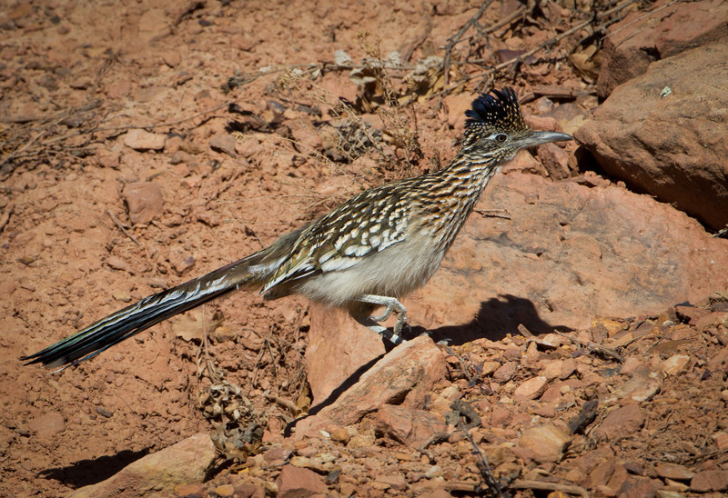 Greater Roadrunner-Dinosaur Ridge Colorado