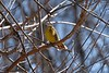 Cape May Warbler (Dendroica tigrina).