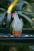 Rose-crowned Fruit-dove (Ptilinopus regina)