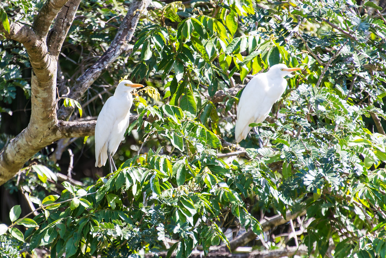Great Egrets along the Rio Tempisque River in Palo Verde National Park, Costa Rica - December 2014
