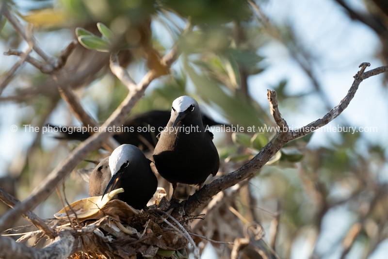 Nesting white capped noddy on Lady Elliot