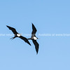 Pair of Frigate birds circling overhead.