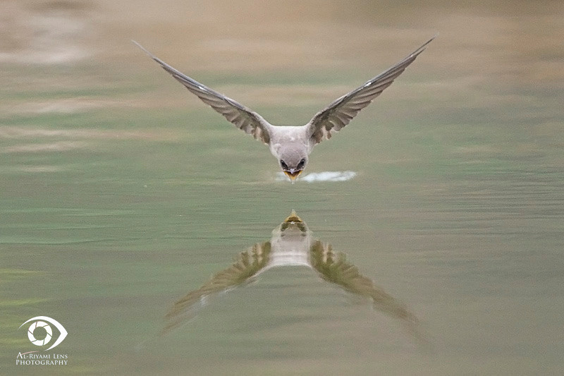 "Swallow in action, Salalah ""oman""."