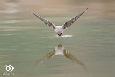 "Swallow in action, Salalah ""oman""."