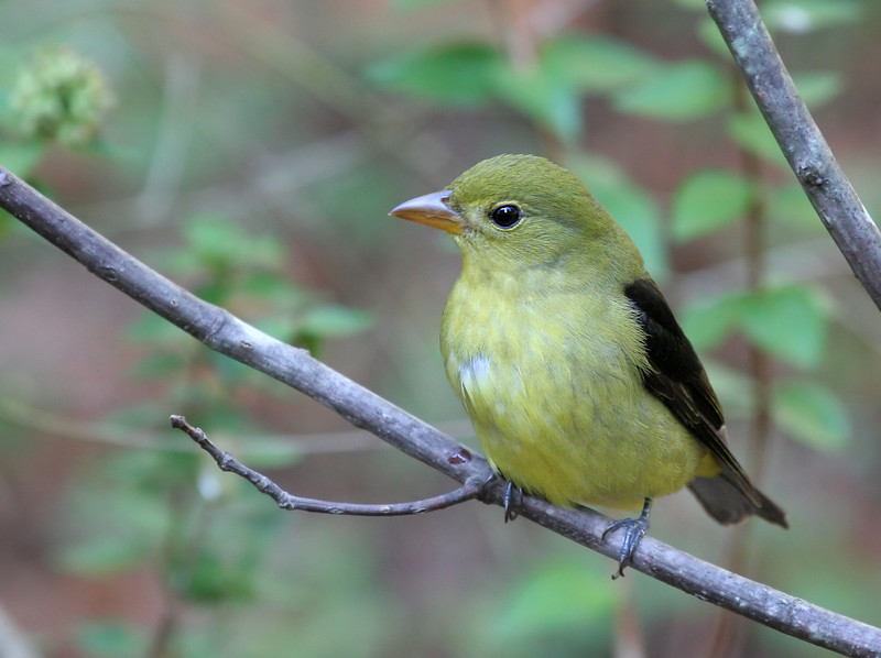 Scarlet Tanager (Non-breeding plumage)
