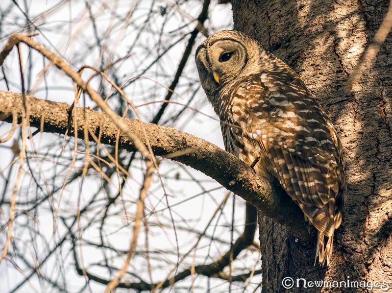 Barred Owl 3