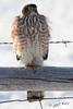 DSC07156a falcon
