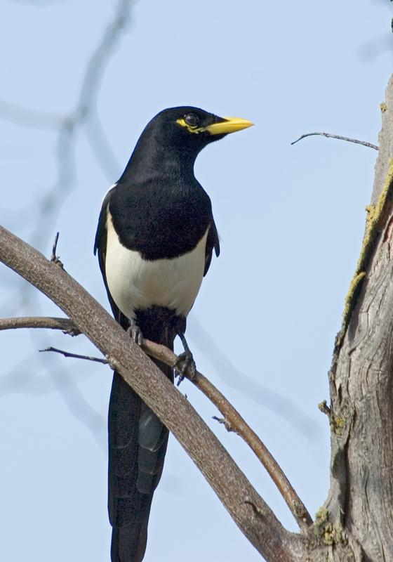 """Magpie""<br /> <br /> Yellow-billed Magpie<br /> Turlock, CA"