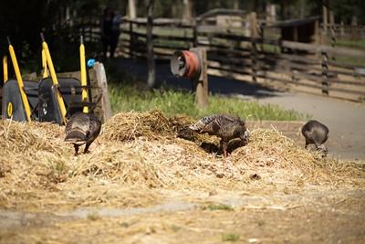 Wild turkeys at Tilden Park, Berkeley