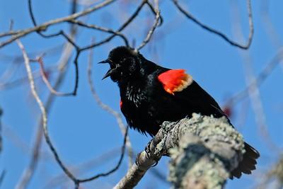 Red-winged Blackbird (Agelaius phoeniceus) breeding male.