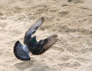 4301 Pigeon