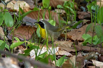 Common Yellowthroat warbler, male - Geothlypis trichas.