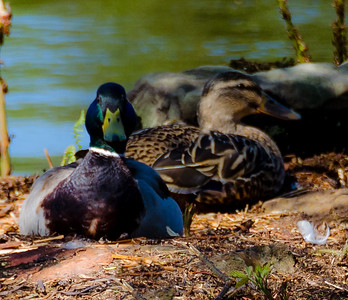 Ducks on there nest