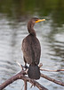 Loved the feather definition on this cormorant; the orange nuptial crests are beginning to show above the eyes.