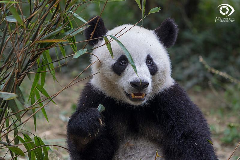 "lovely Panda, Chengdu ""China"""