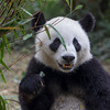 "lovely Panda, Chengdu ""China"""