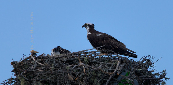 Osprey, Frenchman's Bay