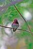 anna's humingbird?