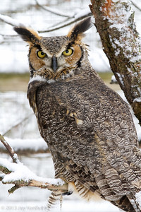 28/365 - Great Horned Owl