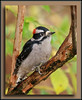 Male Downy Woodpecker at Richmond, BC