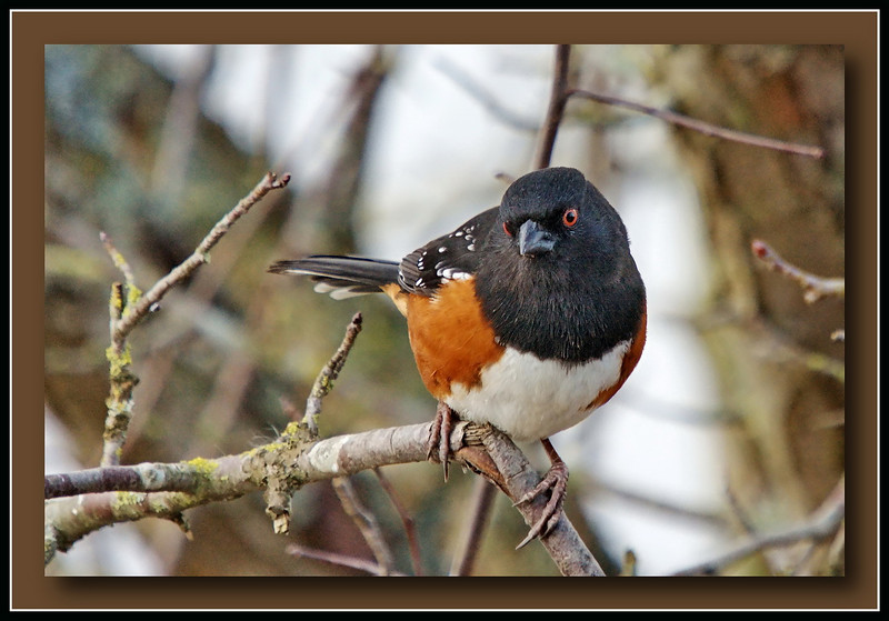 Spotted Towhee at Elgin Historical Park in Surrey, B.C..