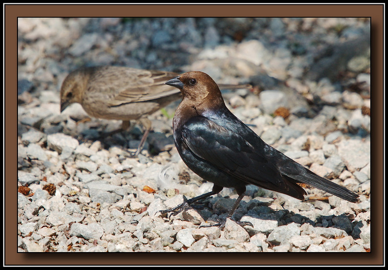 Brown-Headed Cowbird male with female in background.