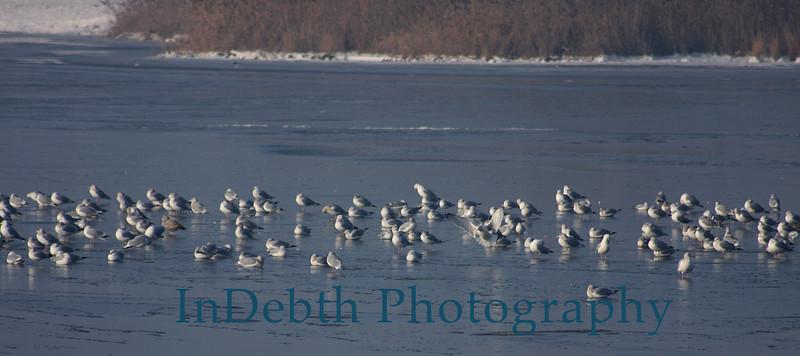 0772 Ottawa River birds 9X4