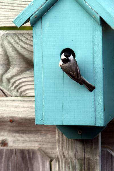 Male Chickadee checking out a box