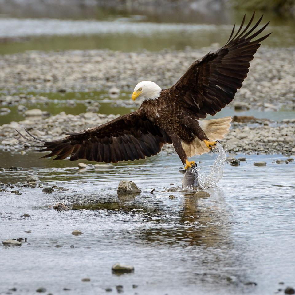 Bald Eagle   Mikvik Creek, McNeil River State Game Refuge, AK