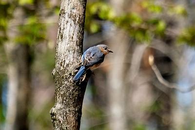 Eastern bluebird, female - Sialia sialis.