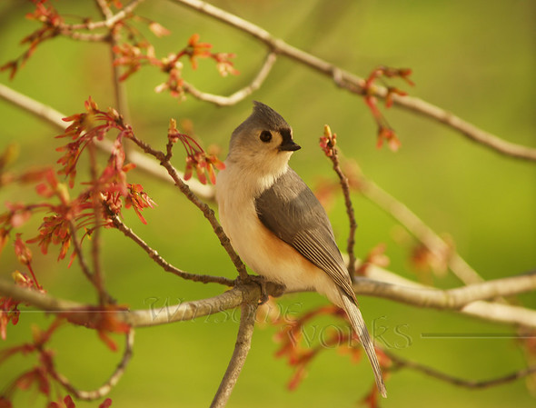 Tufted Titmouse, in wonderful spring lighting with maple buds [photo by Rob Yoder]