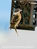 Female Black-Headed Grosbeak