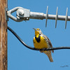 Medow Lark On A Wire