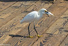 This egret lives on the pier and steels bait from the fisherman