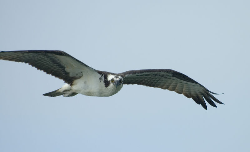 Osprey at 7-Mile Bridge in Florida Keys