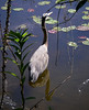 Great Blue Heron, Shark Valley, Everglades National Park, FL